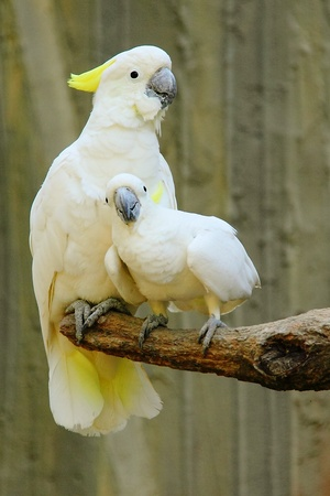 Yellow-crested Cockatoo family Stock Photo - 10376598
