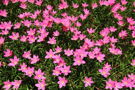 Pink rain lily (Zephyranthes) top view Stock Photo