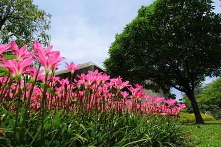 ピンクの雨ユリ (ゼフィランサス) 写真素材