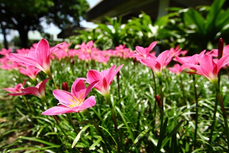 Pink rain lily (Zephyranthes)