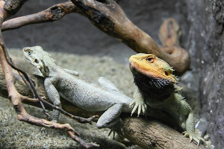 Two lizards in a zoo