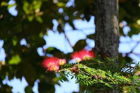 雨の木の花