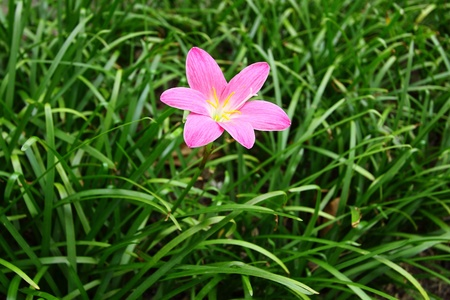 Pink rain lily (Zephyranthes) photo