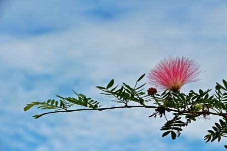 myrtaceae: beautiful lemon bottlebrush in Thailand