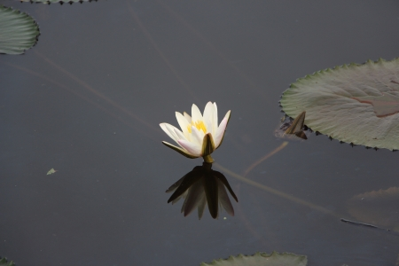 dhamma: lotus shadow Stock Photo