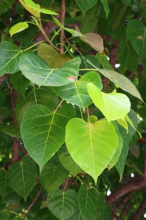 bo: bo leaves