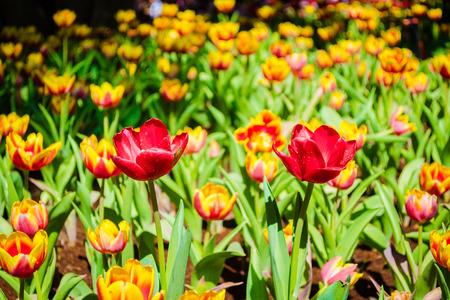 folwer: Red tulip flower, Flower festival, Chiang Rai Thailand.