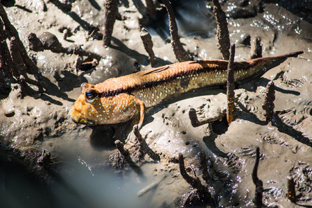 amphibious: Mudskipper, Amphibious fish in Thailand.