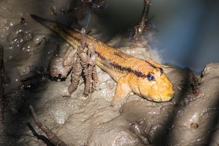 the amphibious: Mudskipper, Amphibious fish in Thailand.