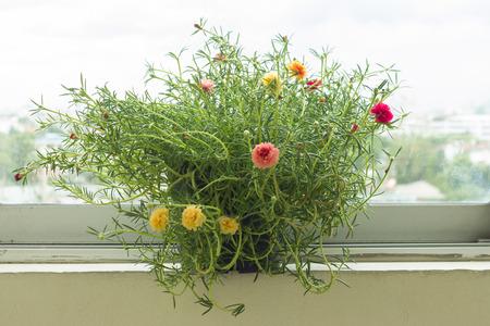 windowsill: common purslane in pots standing on a windowsill