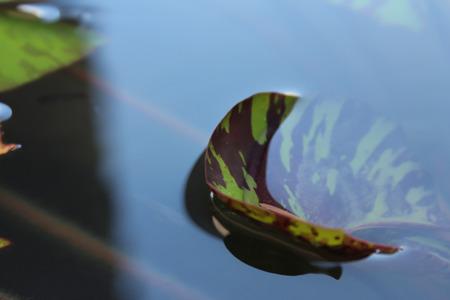 floating on water: Lotus leaf floating water grok Stock Photo