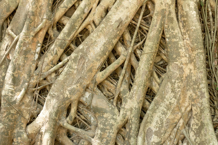 bark rain tree: The roots of the Bodhi tree roots spread across the ground. background texture Stock Photo