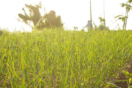 green crop in growth at vegetable garden