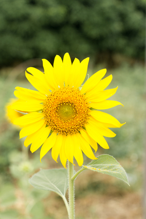 Close up of sunflower is blooming with  corolla blur Stock Photo
