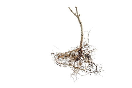 dry root of tree isolated on white background