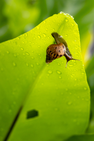 snail is moving on green leaves after rain