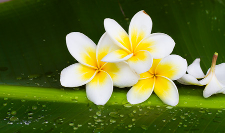 isolated on white: white and yellow frangipani flowers  in green background Stock Photo