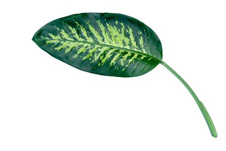 one dumcane leaf isolate close up on white background