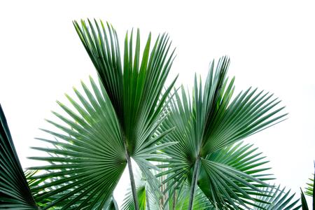 Fiji fan palm isolated on white background