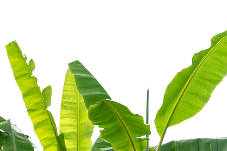 green banana leaves tree isolated on white background