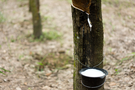 Tapping latex rubber tree