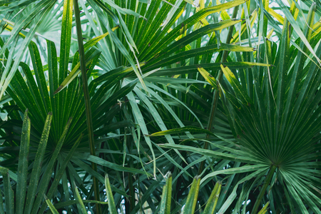 Fiji fan palm leaves