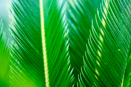Closeup of sago palm leaves. Shallow depth of field.	 Stock Photo
