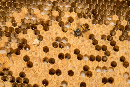 closeup of bees on honeycomb in apiary - selective focus, copy space Foto de archivo