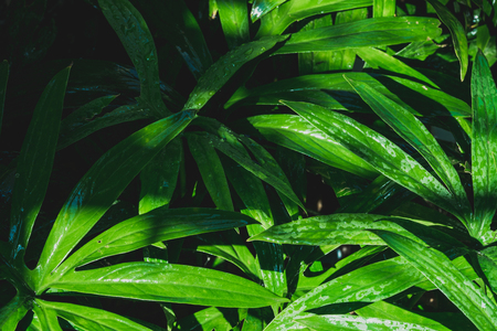 rain drop on tropical green leaf textures,dark tone nature background