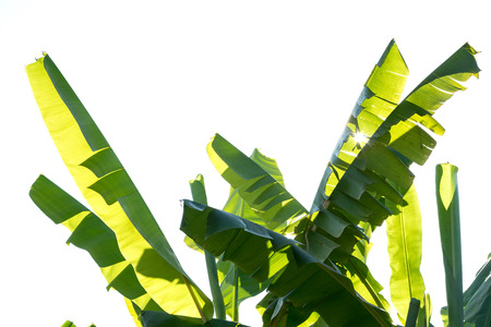 banana leaf / banana leaves