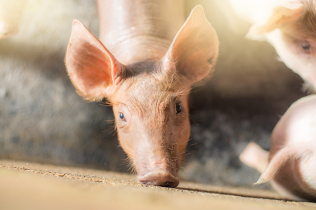Pigs at the farm. Meat industry. Pig farming to meet the growing demand for meat in thailand and international.  Stock Photo
