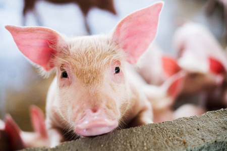 Focus is on eye. Shallow depth of field. pigs at the farm