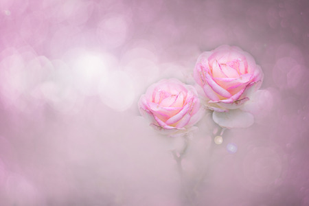 Pink roses color soft style for sweet bokeh background with copy space.