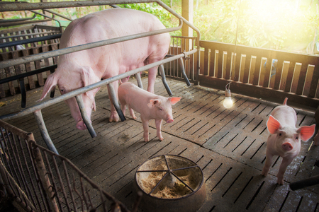 Mother pig and small piglet in the farm,Swine at the farm of thailand.