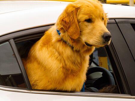 Labrador with half body outside the car window Banco de Imagens