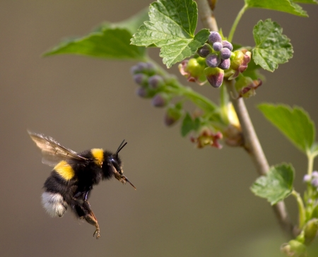 bumble bee flying to flower near Moscow, Russia photo