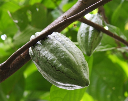fresh cocoa bean on a branch, Indonesia, Lombok photo