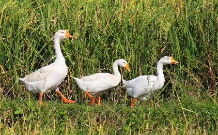 three geese in a row on a rice field, Indonesia, Lombok photo
