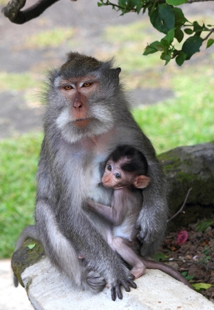 nipples: breastfeeding, young monkey sucking nipples mom, Indonesia, island Bali