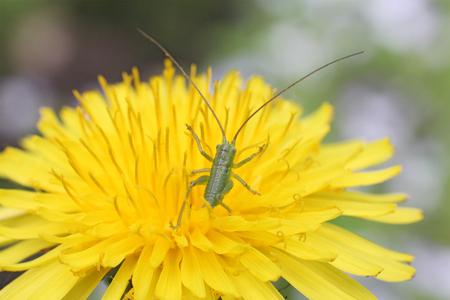 small green grasshopper (back) in yellow dandelion, macro Stock Photo