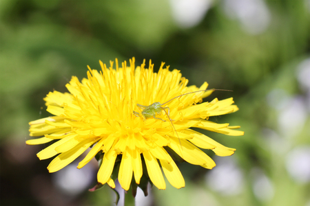 small green grasshopper (eyes) in yellow dandelion, macro