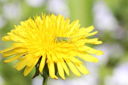 small green grasshopper in yellow dandelion, side view, macro Stock Photo