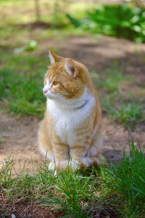 red tabby cat sits on lawn in nature, sunny summer day