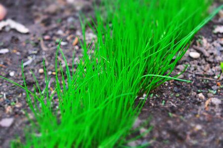 bright green grass on black soil, diagonal, close-up