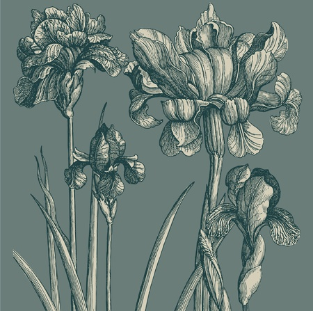 iris flower: Classical wall-paper with a flower pattern. Fragment