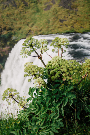skogafoss waterfall: Skogafoss waterfall in Iceland