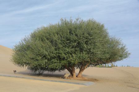 huge tree: Dunhuang desert huge tree