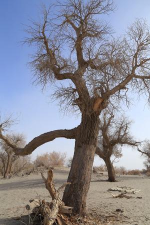 arbol alamo: �rbol de �lamo sin hojas