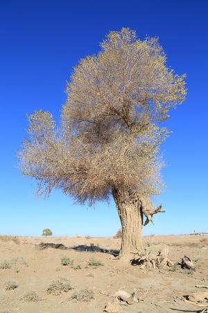 desertification: Poplar under blue sky