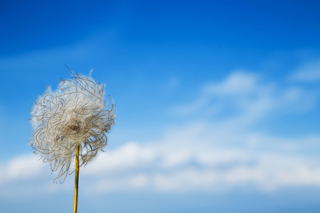 blue dandelion: Blue dandelion